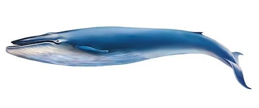 Illustration av blåval på vit bakgrund