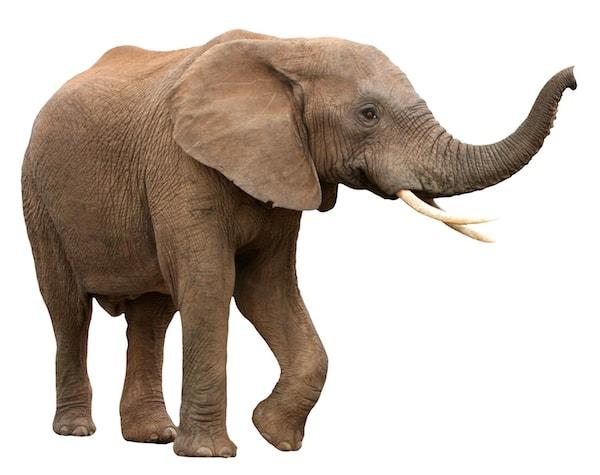 Elefant på vit bakgrund