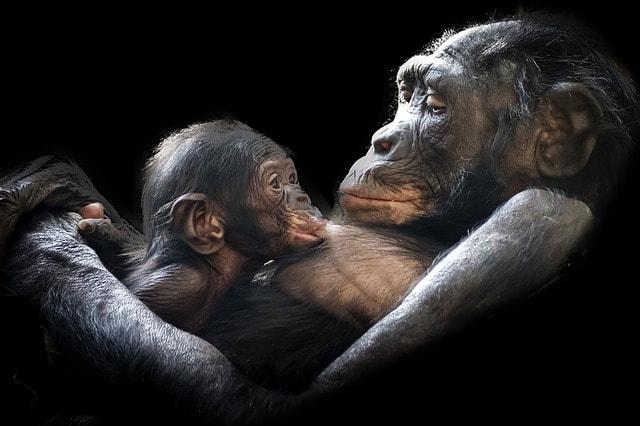 Gorilla med gorillaunge
