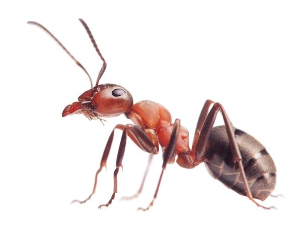 Stående myra på vit bakgrund